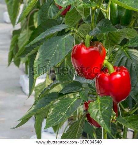 Growing peppers in a greenhouse