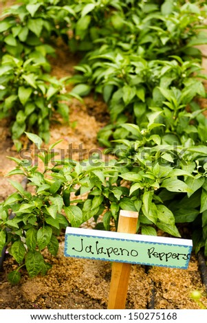Growing peppers in organic vegetable garden. - stock photo