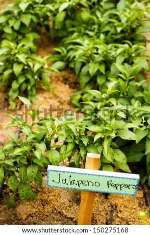 Growing peppers in organic vegetable garden. - stock photo