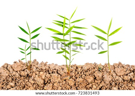 Growing  plant with underground root visible on white background.Green Phlai plants.