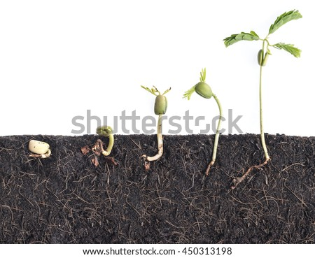 Growing plants,Bean seed germination different stages with underground root visible - stock photo