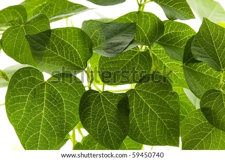 growing plants. beans - stock photo