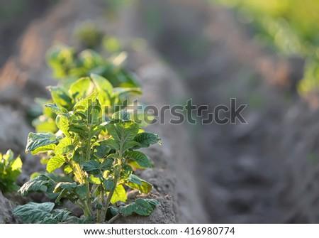 Growing potatoes - stock photo