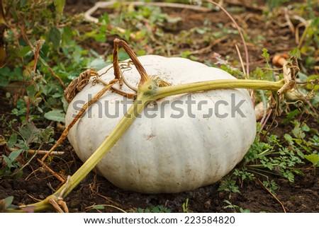 Growing pumpkins in organic vegetable garden - stock photo