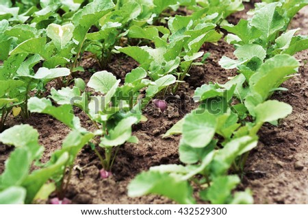 Growing radish plants on a garden bed