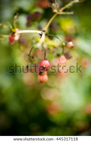 Growing red currant in home garden - stock photo