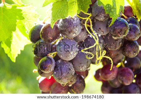 Growing red grapes - stock photo
