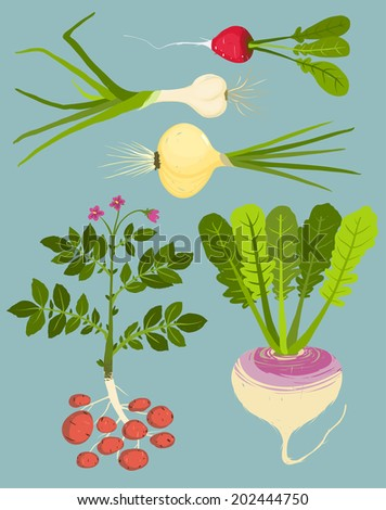 Growing Root Vegetables with Greens Collection. Vegetable gardening and cooking illustration. Raster variant. - stock photo