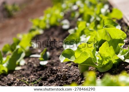 growing salad - stock photo