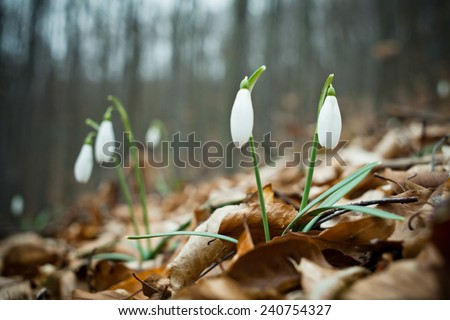 Growing snowdrops in a forest.