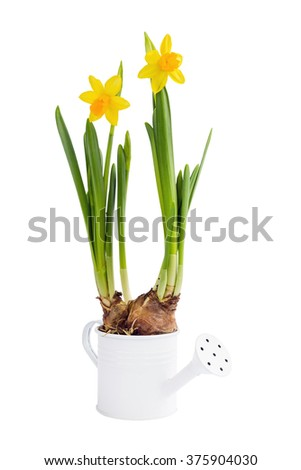 Growing  spring narcissus in decorative small watering can. Isolated over white  - stock photo