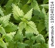 Growing stinging  nettles - close up, top view. - stock photo