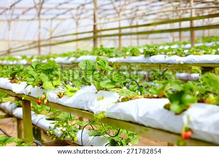 growing strawberries in greenhouse - stock photo