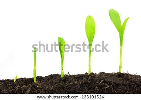 Growing Sweet Corns In Soil - stock photo