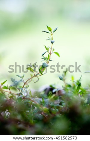Growing thyme in home garden