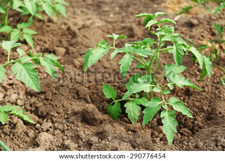 Growing tomatoes on bed - stock photo