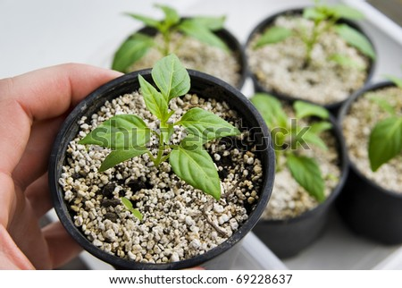 Growing vegetable plant, green seedling, background