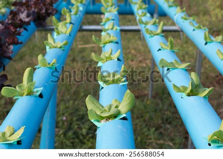 Growing vegetables without soil rich with organic vegetables vegetable Hydroponics. - stock photo