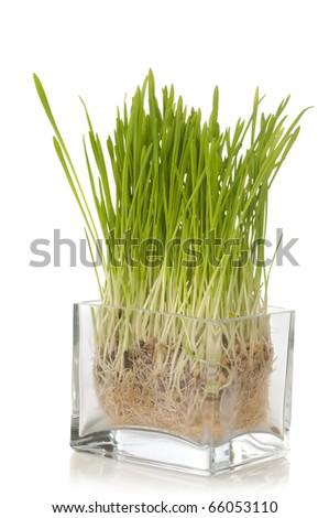 growing wheat - stock photo