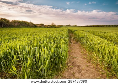 Growing Wheat Crop / A growing wheat crop  in springtime on a Northumberland farm - stock photo
