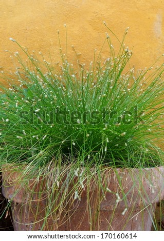 Growing wild grass on terracotta jar - stock photo