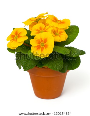 growing yellow primula flower isolated on white background - stock photo