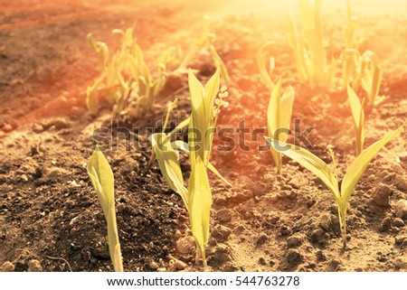 Growing Young Green Seedling Sprouts in Cultivated Agricultural Farm Field, Selective Focus with Shallow Depth of Field, Backlit Full of Sunshine, Shot with Flares.