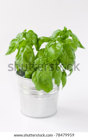 growing young sweet basil plants in bucket isolated on white