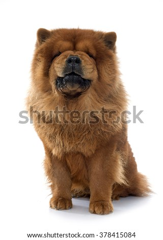growling chow dog in front of white background - stock photo