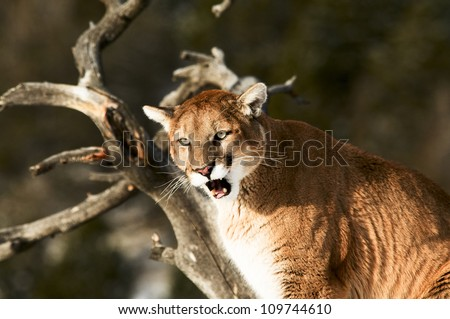 Growling Cougar in Tree - stock photo