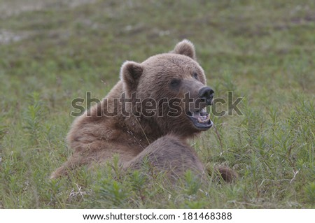 Growling grizzly - stock photo