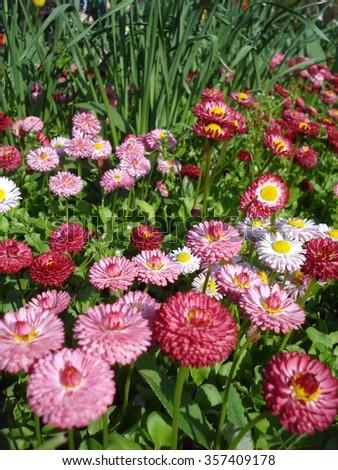 Grown bellis perennis flowers in spring - stock photo