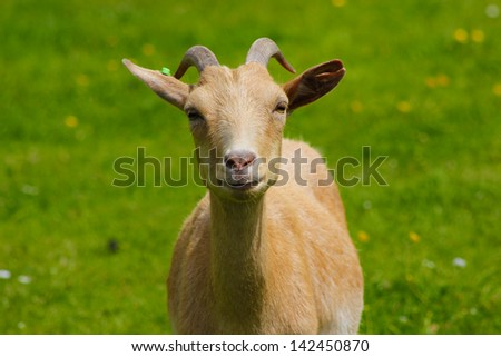 Grown male goat standing in a grassy field on a sunny day - stock photo