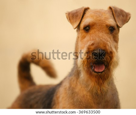 Grown-up brown and black haired purebred airedale terrier  - stock photo