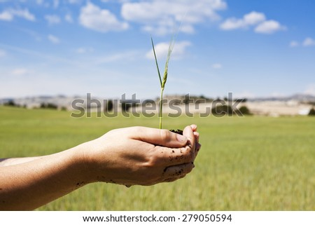 Growth concept Holding cereal crop in hands in green field - stock photo