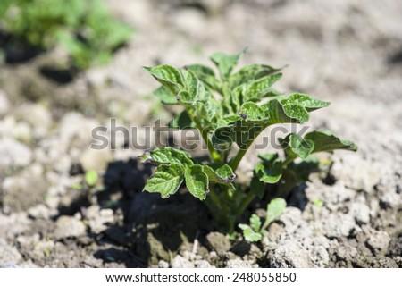 growth green potato - stock photo