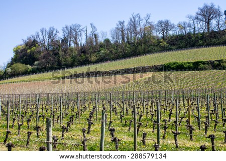 growth of a vineyard in the countryside of Saint Emilion, Bordeaux, France - stock photo
