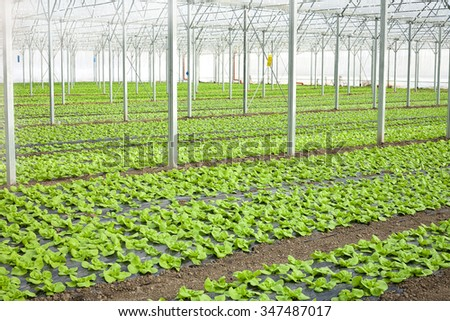 Growth of lettuce inside a greenhouse