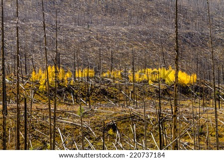 Growth of new Aspen trees changing yellow in forest fire burn area on autumn afternoon - stock photo