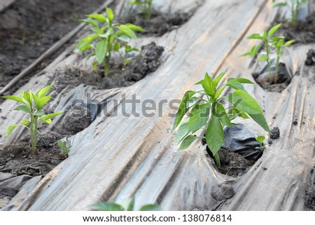 Growth of paprika plant seedlings in a greenhouse, early spring - stock photo