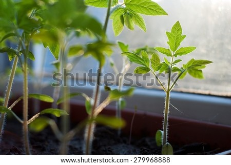 Growth of tomatoes on the window sill - stock photo