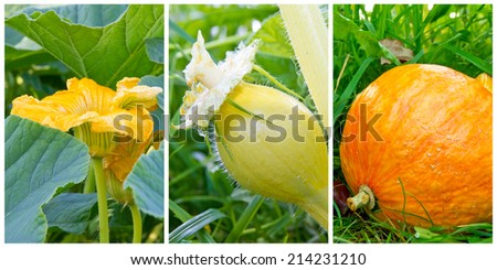 Growth period of a pumpkin - stock photo