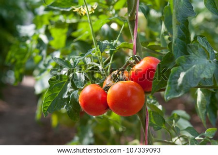 Growth red tomato in greenhouse