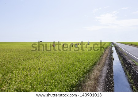 growth rice farm close up with Scarecrow