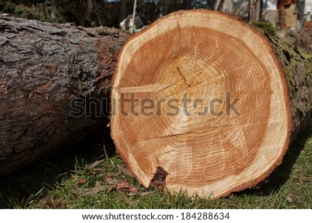 growth rings, larch, felled tree - stock photo