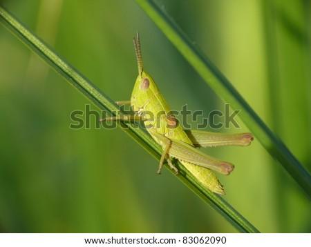 Grub of female small gold grasshopper - stock photo