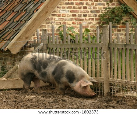 Grubbing pig - stock photo