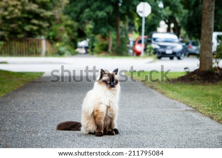Grumpy and unhappy seal point Balinese (long haired Siamese) pedigreed cat sitting on the sidewalk near a road with grass, trees and cars nearby - stock photo