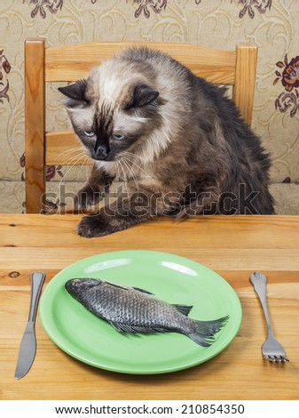 Grumpy birman cat sniffing dinner with raw fish - stock photo