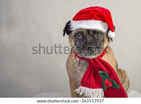 Grumpy Pug cross dog in Santa hat & scarf with room for text